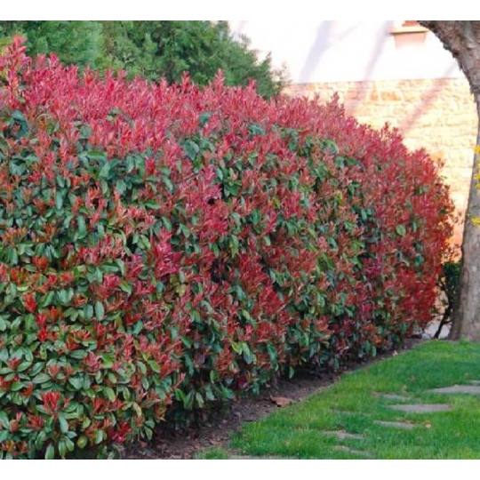 PHOTINIA FRASERI RED ROBIN C3