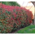 Photinia fraserova 'RED ROBIN', 30-40cm, kont. 3l