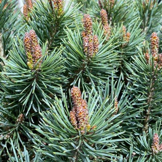 Borovica lesná ´WATERERI NANA´, na kmienku 60cm,  kont. 25l