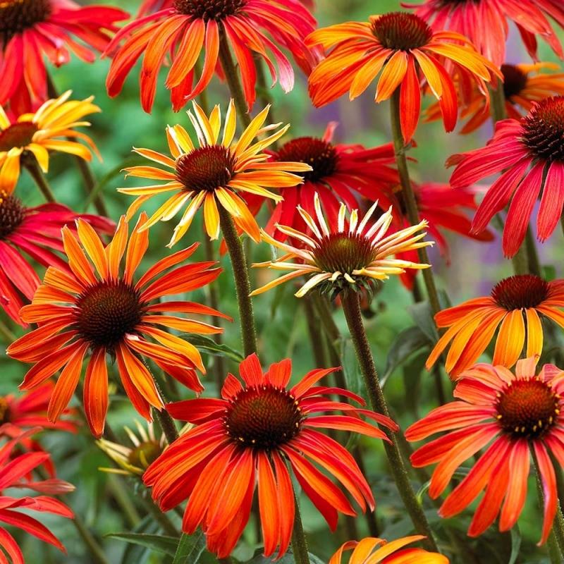 Echinacea lekárska 'HOT SUMMER', kont. 2l