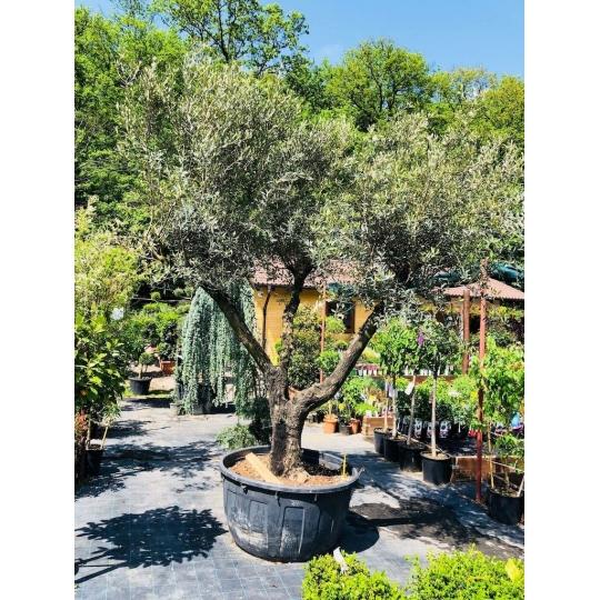 Olivovník európsky, 350cm
