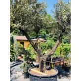 Olivovník európsky, Olea ´Europaea´