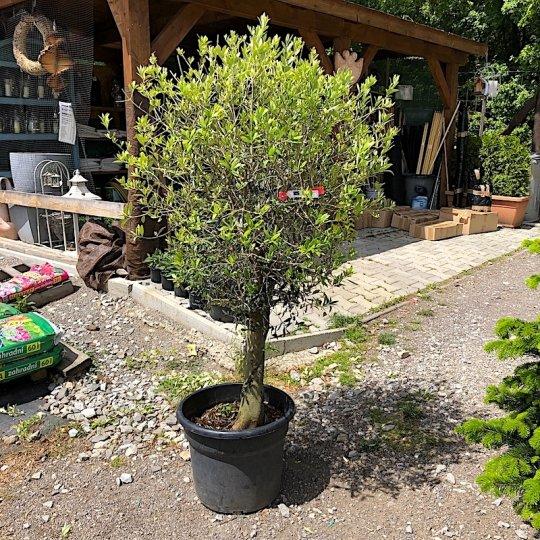 Olivovník europský, mini kmeň, kont. 50l