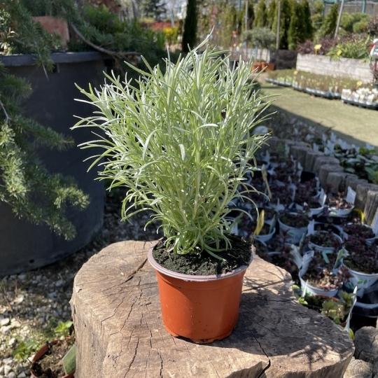 Kari - Helichrysum italicum, kont. 0,5l