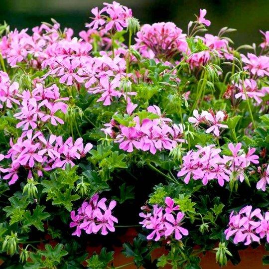 muškát ťahavý tirolský ružový