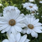 Osteospermum biele 'PURE WHITE', kont. 0,5l