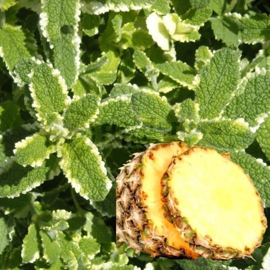 Mäta ananásová 'PINEDO', kont. 1l