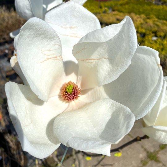 Magnólia 'DENUDATA' (Magnolia YULAN), 60-80, cm, kont. 10l