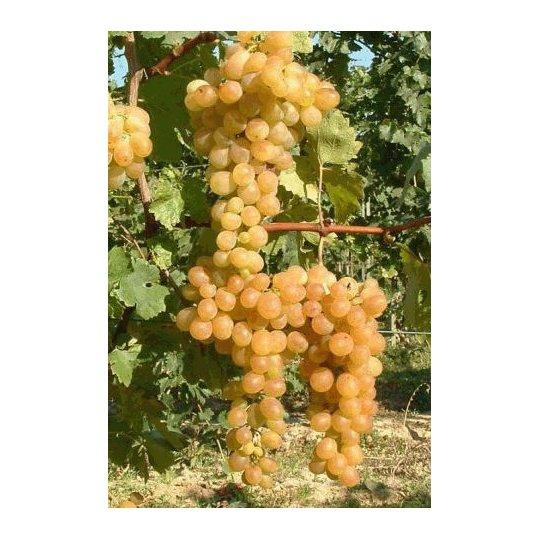 Vinič stolový 'ALETTA', rezistentný, 20-30cm