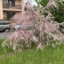 Tamariška malokvetá 30-40cm, kont. 2,5l
