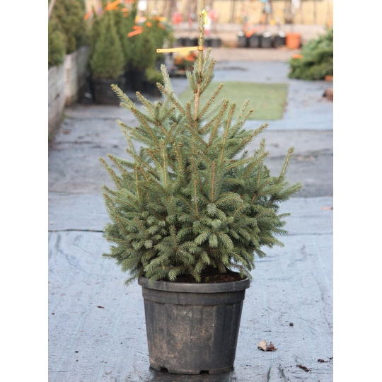 Smrek pichľavý Glauca - Picea Pungens Glauca, kontajn. 30l