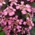 Hortenzia pílovitá  'DAREDEVIL', 20-30cm, kont. 7,5l