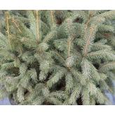Smrek pichľavý - Picea Pungens, kontajn. 30l