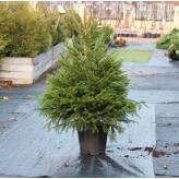 Smrek obyčajný - Picea Abies