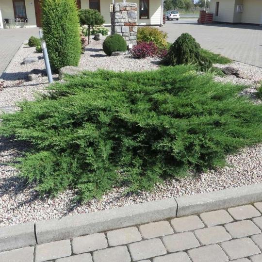 Borievka rozprestretá, Juniperus horizontalis ´Prince of Wales´, kont.2l