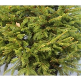 Smrek obyčajný - Picea Abies, 100-120cm, 30l