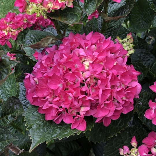 """Hydrangea macr. """"Merveille Sanguinea"""", 10-15 cm, K9"""