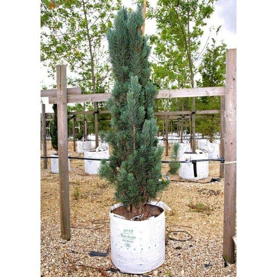 Borovica lesná 'FASTIGIATA', 30-40cm, kont. 5l
