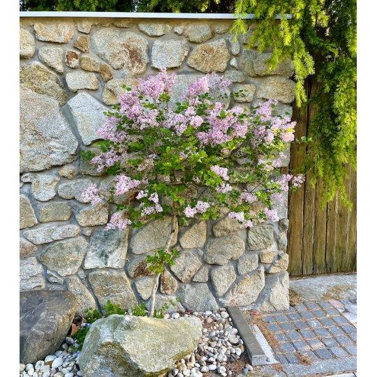 Orgován trpasličí 'JOSEE', 2x kvitnúci, 50cm, kont. 5l