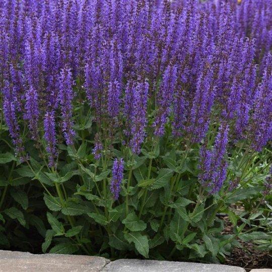 Salvia nemorosa _Synchro Blue_, kont. 0,5Lit.