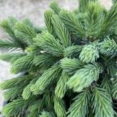 Smrek biely´ECHINIFORMIS´, Picea glauca´Echiniformis´, kont.2l
