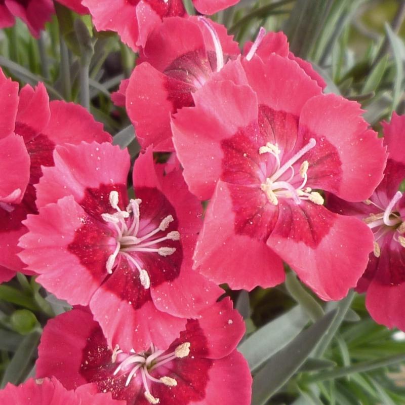 Klinček pyšný ´TINY PLEASURE® RED EYE´, kont. 0,5l
