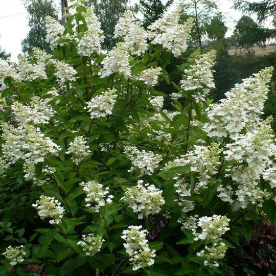 Hortenzia metlinatá 'WHITE GOLIATH', 30-40cm, kont. 3l