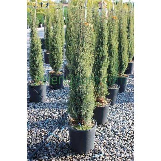 Borievka obyčajná, Juniperus communis´Sentinel´ kont.15l