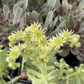Sempervivum ciliosum Borisi, kvetináč K9