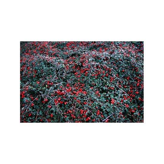 Skalník plazivý, Cotoneaster salicifolius 'Gnom' kont.2l