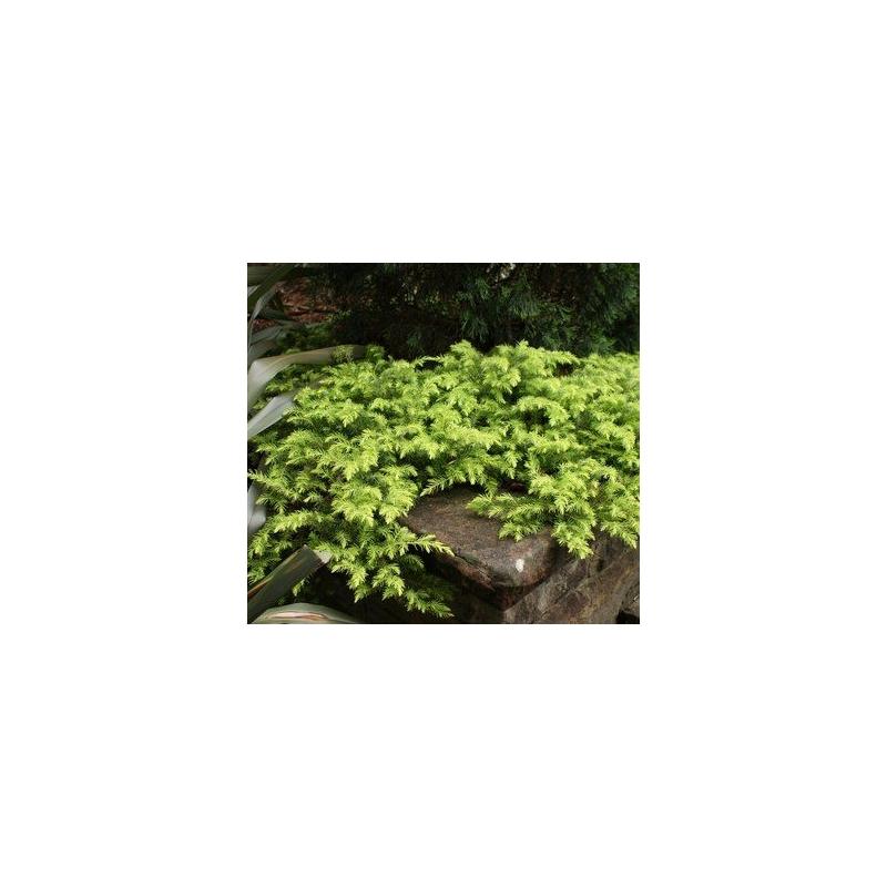 Borievka pobrežná, Juniperus conferta ´All Gold´, kont.2l