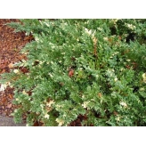 Borievka davurica,Juniperus davurica ´Expansa Variegata´, kont.2l