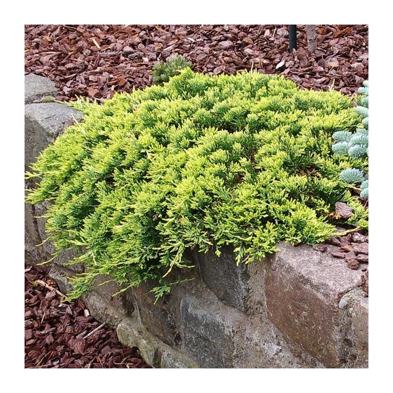 Borievka rozprestretá, Juniperus horizontalis ´Golden Carpet´, kont.2l