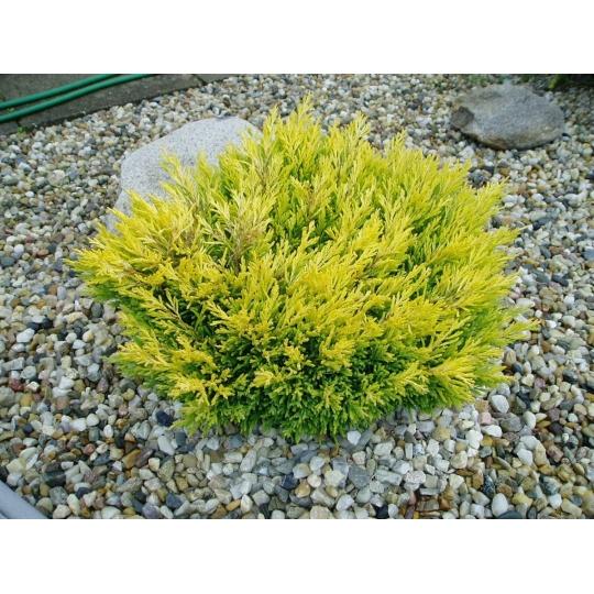 Borievka rozprestretá, Juniperus horizontalis ´Lime Glow´, kont.2l