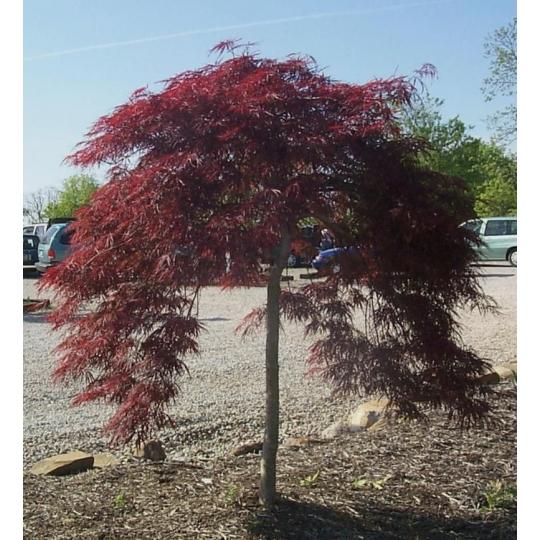 Japonský javor ´Atropurpureum´ – Acer Palmatum Dissectum ´Atropurpureum´, kvetináč 15l