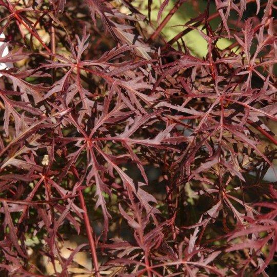 Japonský javor ´Dissectum Garnet´ – Acer Pal. Dissectum ´Garnet´, kvetináč 50l