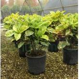 Aukuba japonská – Aucuba japonica ´Crotonifolia´, kvetináč 9l