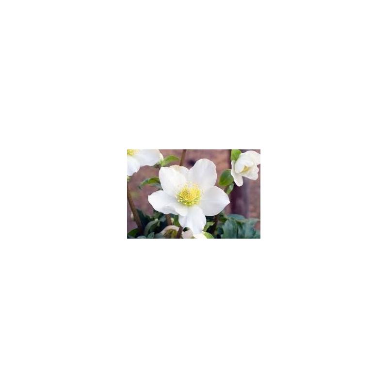 Čemerica, Helleborus ´HGC Jacob´, črepník 1,8l