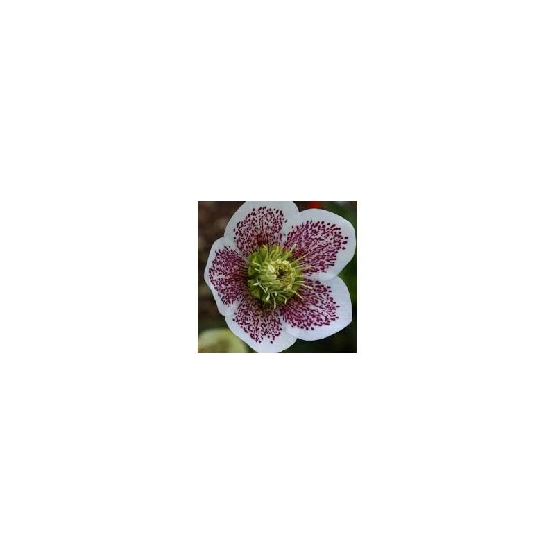 Čemerica , Helleborus ´Conny´, črepník 1,8l