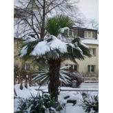 Palma himalájska, Chamaerops excelsa,  mrazuodolná, kvetináč 50l