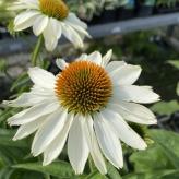 Echinacea hybridná ´INNOCENT MEADOW MAMA®´, kont. 0,5l