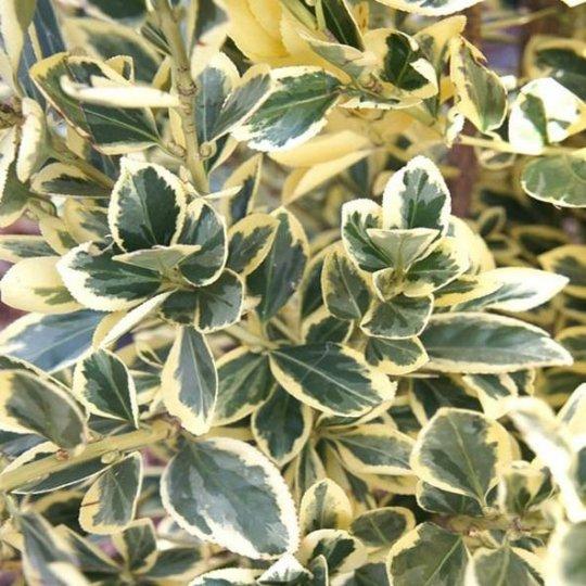 Bršlen japonský ´Bravo´, Euonymus japonicus  ´Bravo´, črepník 20l