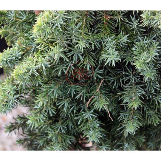 Borievka pobrežná ´Blue Pacfic´, Juniperus conferta ´Blue Pacific´, črepník 20l