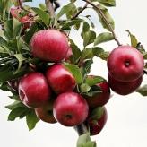 Organické hnojivo-jadrové ovocie,Rokohumin,50g