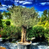 Olivovník európsky, Olea ´Europaea´, 350cm