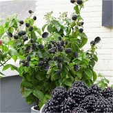 Černica ´LITTLE BLACK PRINCE´, balkónová, kont. 2l