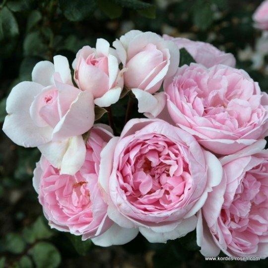 CINDERELLA® ruža kríková, KORDES, kont. 2L