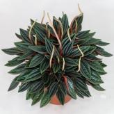 Peperómia červená, Peperomia caperata Rosso