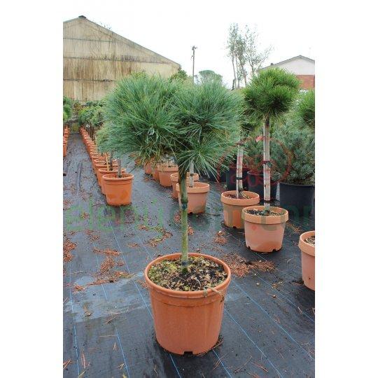 Borovica hladká ´Radiata´, Pinus strobus ´Radiata´ (´Nana´), črepník 15l, NA KMIENKU