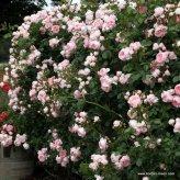 Ruža Cinderella®